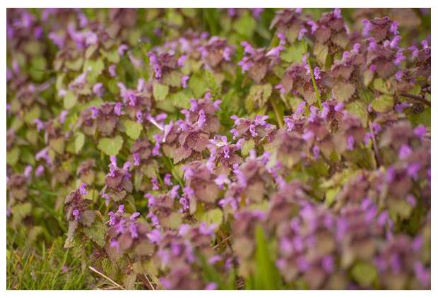 foto´s, Paarse dovenetel (Lamium purpureum)