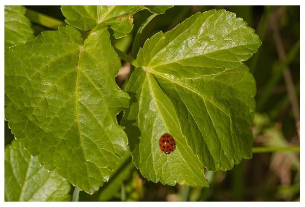 foto's, Zwartmoeskervel (Smyrnium olusatrum), plant