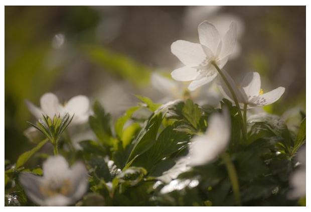 foto's, Bosanemoon (Anemone nemorosa), bloem