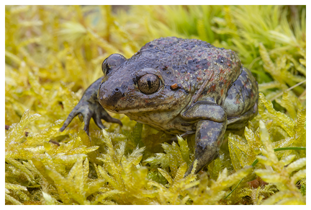 foto's, Knoflookpad (Pelobates fuscus), amfibie