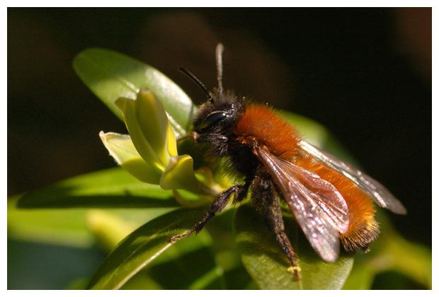 foto's, Vosje (Andrena fulva), bij