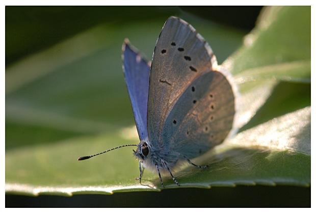 foto's, Boomblauwtje (Celastrina argiolus), vlinder