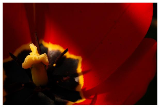 tulp, tulpen, bolgewas