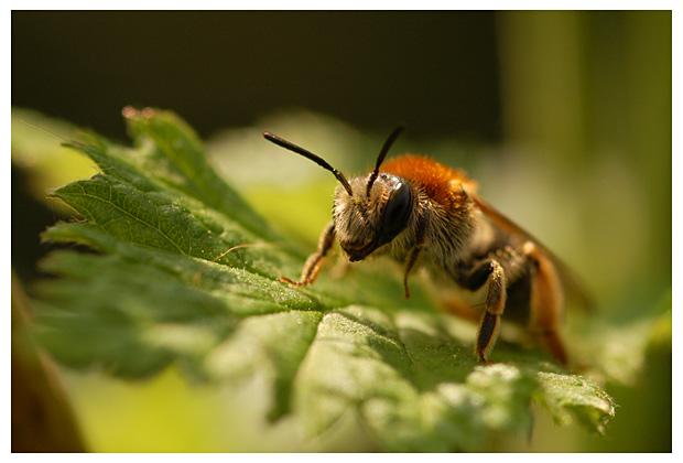 foto's, Groefbij (Lasioglossum calceatum), bij