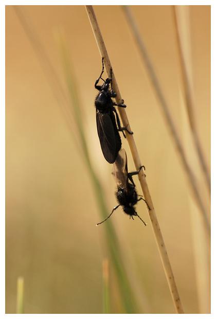 foto's, familie Zwarte vliegen (Bibionidae), mug