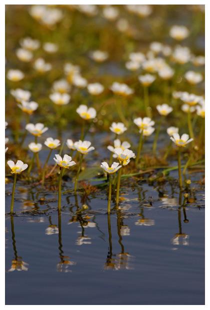 waterranonkel (ranunculus), waterplant