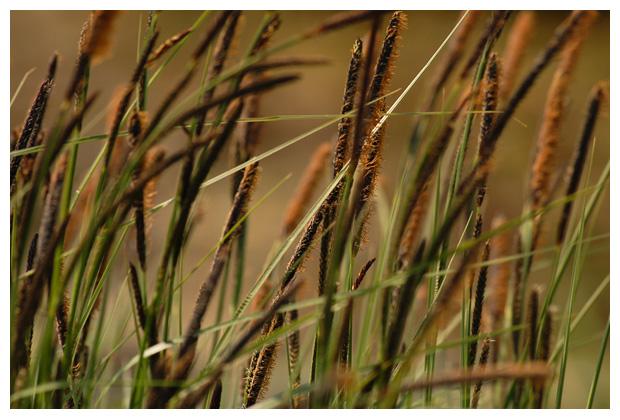 foto's, Zwarte zegge (Carex nigra), gras