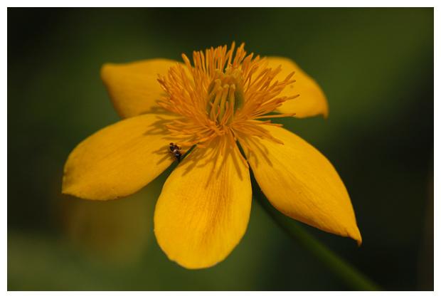 gewone dotterbloem (caltha palustris subsp. palustris), ranonkelachtigen (Ranunculaceae)
