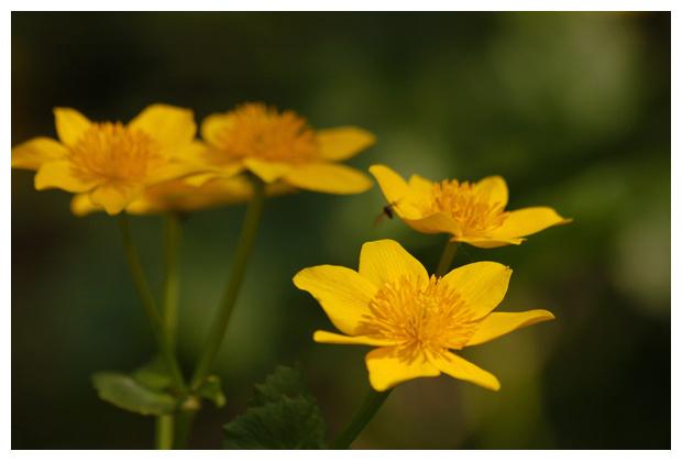 foto's, Gewone dotterbloem (Caltha palustris subsp. palustris), waterplant