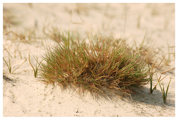 buntgras (corynephorus canescens)
