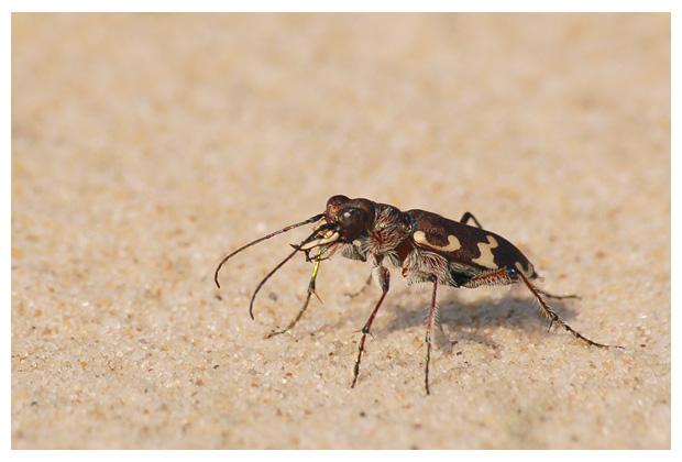 foto's, diverse verschillende soorten Loopkevers (Carabidae), kever