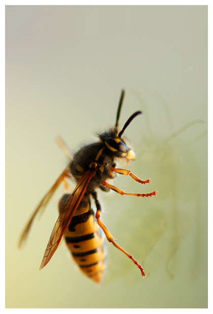 foto's, Gewone wesp (Vespula vulgaris)