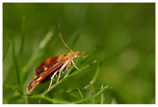 foto's, Muntvlindertje (Pyrausta aurata), vlinder