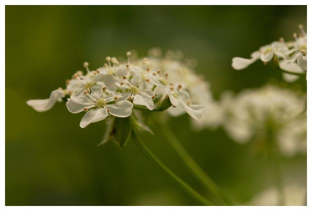 fluitenkruid (anthriscus sylvestris), schermbloemenfamilie (apiaceae), kervel, vrucht, zaden, witte of roze