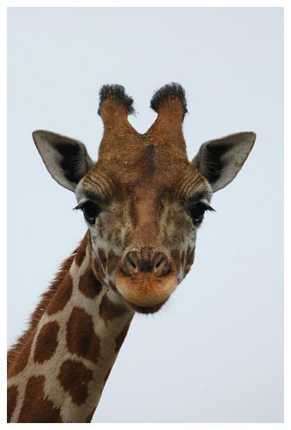 foto's, Rothschild giraffe of giraf (Giraffa camelopardalis), dier