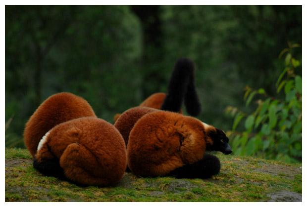 rode vari (varecia rubra), maki's of echte lemuren (lemuridae)