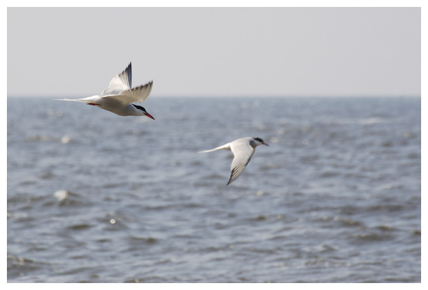 foto's, Visdief (Sterna hirundo), vogel