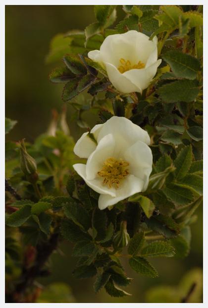 duinroos (rosa pimpinellifolia syn. rosa spinosissima), duinroosje