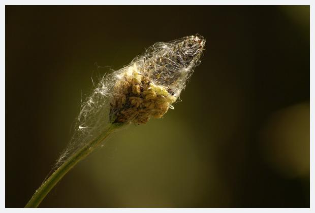 smalle weegbree (plantago lanceolata), weegbreefamilie (plantaginaceae), witte helmknop, helmknoppen, helmknopje, helmknopjes, bloemen, bloempje, bloempjes, bloemfoto´s, bloemfoto's, plant, planten, plantje, plantjes, plantenfoto´s, plantenfotos, overblijvende plant, niet giftig