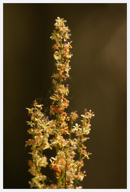 veldzuring (rumex acetosa), veldzuringen, veldzuringtje, veldzuringtjes, zuring (rumex), duizendknoopfamilie (polygonaceae), rood,  bloem, bloemen, bloempje, bloempjes, bloemfoto´s, bloemfoto's, plant, planten, plantje, plantjes, plantenfoto´s, plantenfotos, wilde, overblijvende plant