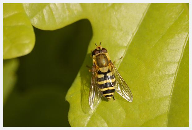 foto's, familie Zweefvliegen (Syrphidae), vlieg