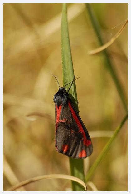 foto's, Sint-jacobsvlinder (Tyria jacobaeae), nachtvlinder