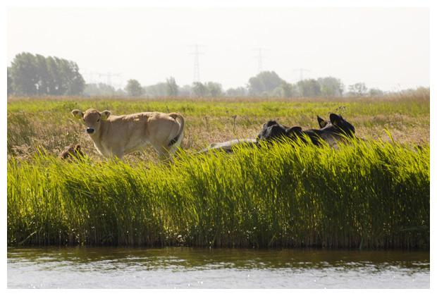 koe, koeien, koefoto´s, koefoto's, koeienfotos, koeienfoto´s, dier, dieren, dierenfotos, dierenfoto´s,  zoogdier, zoogdieren, plaatjes met de koe
