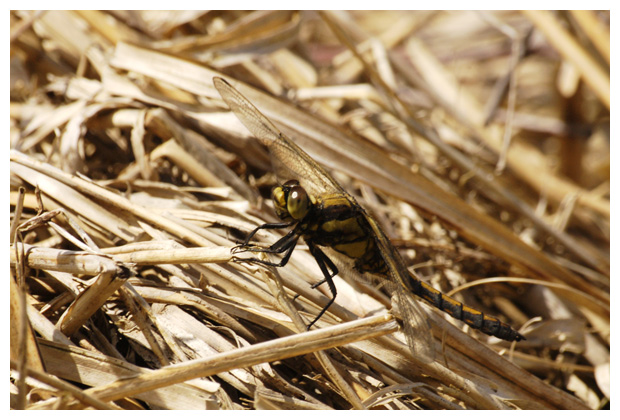 gewone oeverlibel (orthetrum cancellatum), oeverlibellen, oeverlibelle, oeverlibelfoto´s, oeverlibelfotos, libel, libellen, libelfoto´s, libelfoto's, libelfotos, libellenfoto´s, libellenfoto's, libellenfotos, libelle, insect, insecten, insekten, insekten
