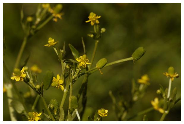blaartrekkende boterbloem (ranunculus sceleratus), ranonkelfamilie (ranunculaceae), giftig