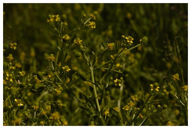 blaartrekkende boterbloem (ranunculus sceleratus), giftigste boterbloemen, boterbloempje, boterbloempjes, kikkerbloem, kikkerbloemen, kikkerbloempje, kikkerbloempjes, jeukbloem,  jeukbloemen, familie ranonkelachtige, ranonkelfamilie (ranunculaceae), bloem, bloemen, bloemenfotos, bloemenfoto´s, plant, planten, plantenfotos, plantenfoto´s, giftig, giftige