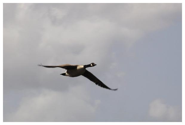 foto's, Grote canadese gans (Branta canadensis), vogel
