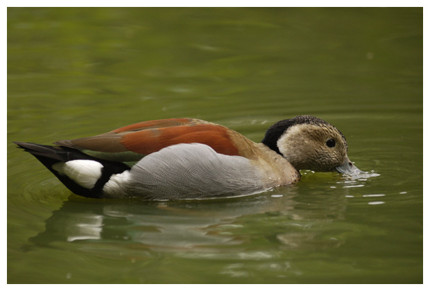 foto's, Roodschoudertaling (Callonetta leucophrys), vogel