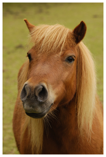 pony, pony´s, shetlander, shetlanders, shetlanderfotos