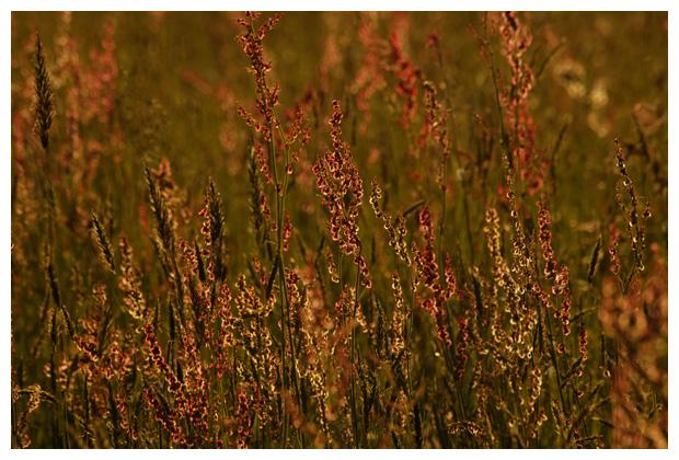foto's, Schapenzuring (Rumex acetosella), zuring