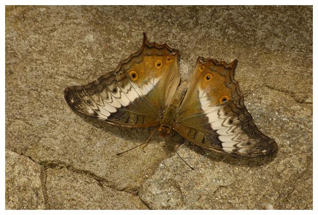 foto's, Tropisch vlinderparadijs, Papiliorama, Havelte, Drenthe