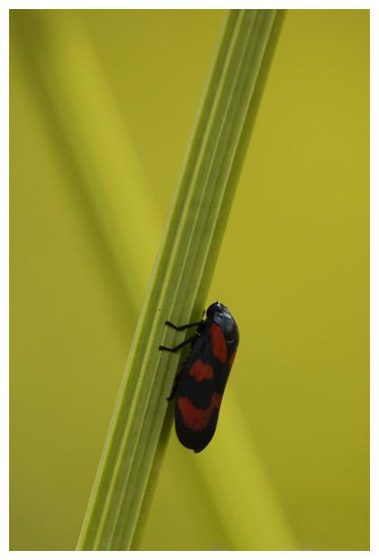 foto's, Bloedcicade (Cercopis vulnerata), cicade