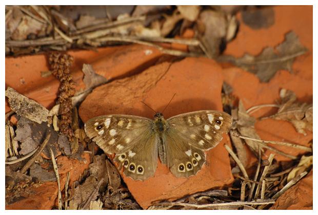 foto's, Bont zandoogje (Pararge aegeria), vlinder