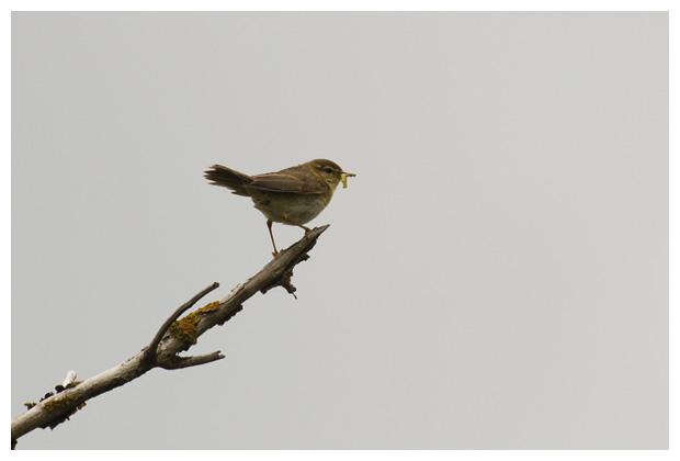 foto's, Fitis (Phylloscopus trochilus), vogel