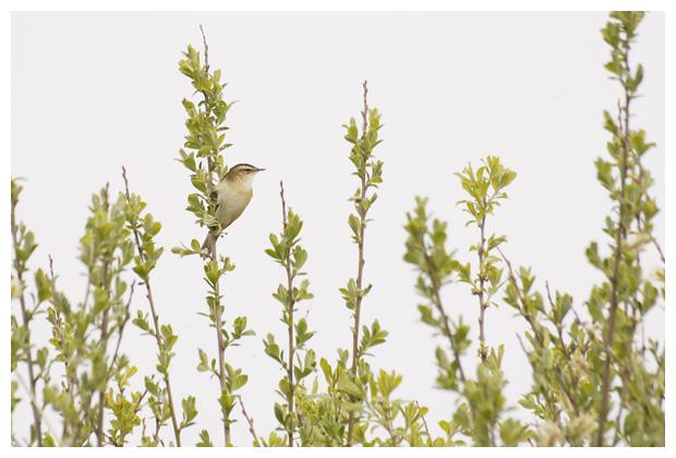 foto's, Rietzanger (acrocephalus schoenobaenus), vogel