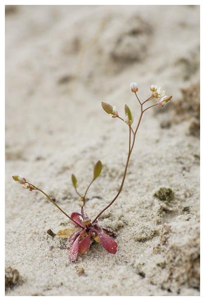 foto's, Vroegeling (Erophila verna (l.)chevall. syn. draba verna l.)