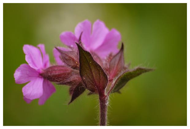 foto's, Dagkoekoeksbloem (Silene dioica syn. Melandrium rubrum), oeverplant