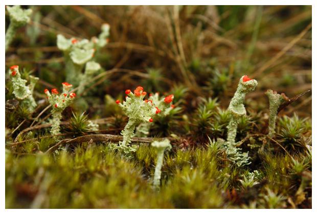 foto's, Rood bekermos (Cladonia coccifera), korstmos