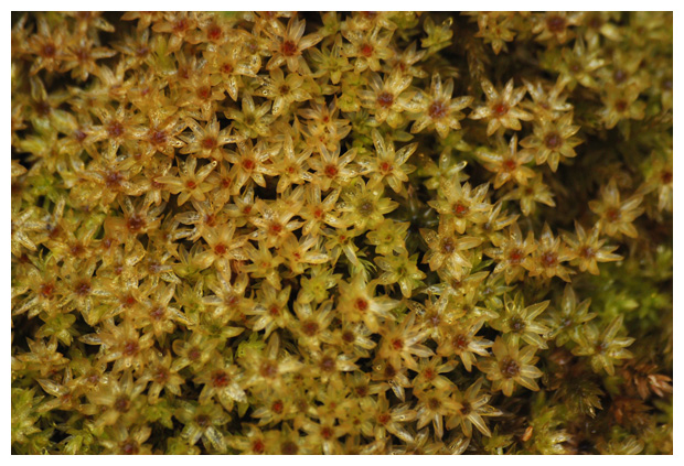 foto's, Groot duinsterretje (Syntrichia ruralis var. arenicola), mos