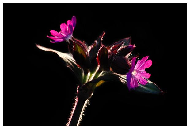 foto's, Dagkoekoeksbloem (Silene dioica syn. melandrium rubrum), plant