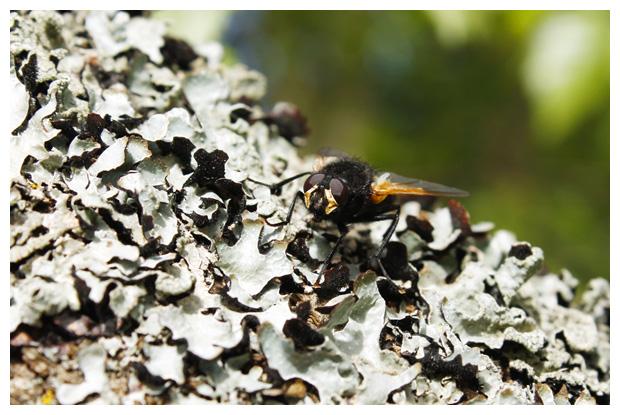 foto´s Gewoon schildmos (Parmelia sulcata), korstmos
