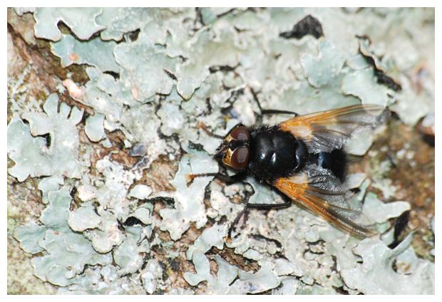 foto's, familie Echte vliegen (Muscidae), vlieg