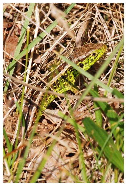 foto's, Zandhagedis of duinhagedis (Lacerta agilis), hagedis