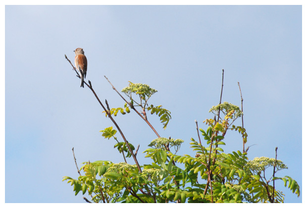 foto's, Kneu (Carduelis cannabina), vogel, nest