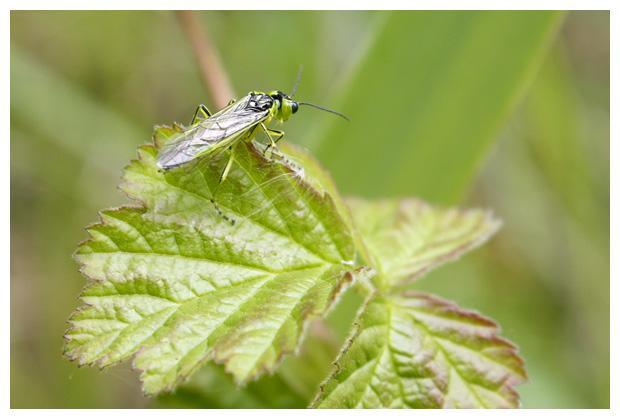 foto's, Groene bladwesp (Rhogogaster viridis)