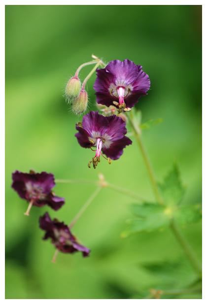 foto's, Donkere ooievaarsbek (Geranium phaeum), tuinplant